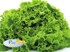 Rare Green Lettuce Salad Seeds Odessakiy Kucheryavets Odessa Curly Heirloom