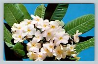 Flowers - Plumeria, Fragrant Waxy Flower Well Suited For Leis, Chrome Postcard