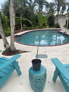 Christmas Palm Tree Adonidia Merrillii Beautiful Tropical Specimen 1 Gallon