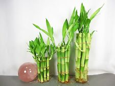 """New listing Live Lucky Bamboo Plant Set 4""""x10, 6""""x10,8""""x10 Total 30 Straight Indoor Decor"""