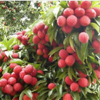 10pcs Fresh Lychee Litchi Seeds Delicious Sweet Seasonal Fruit Rare Tree Bonsai