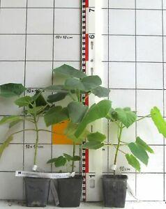 Paulownia tomentosa -  Blauglockenbaum / Kaiserbaum   (  Pflanze )