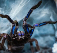 Chilobrachys Electric Blue 12cm LIVEFOOD