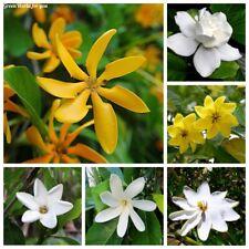 100 Gardenia Flower Seeds 10 Kinds Beautiful Decorative Perennial Garden Plants
