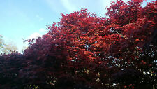 100 seeds Red Japanese Maple Acer palmatum atropurpureum, Tree