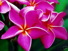 Plumeria Seeds/Flowers/Plants/