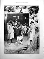 Old Antique Print Smithfield Club Cattle Show The Champion Admirers 1893 19th