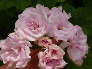 """Pelargonie Geranie """"Milfield Rose"""" im 9-er Topf"""