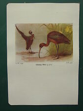 VINTAGE BIRD PRINT ~ GLOSSY IBIS