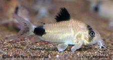 "(6) 1-1.5"" Panda Cory TR Corydoras Live Freshwater Tropical Catfish Beginner"