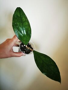 Hoya sp germany  rare  rooted house plant