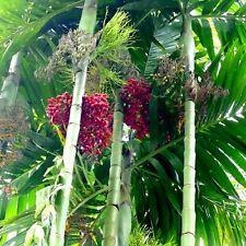 BAMBOO PALM < Tropical Areca Triandra >Indoor~part Sun~10 seeds
