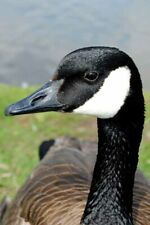More details for canada goose canadian geese wild bird photograph picture print