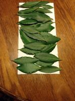 Bay Leaf, Organic Whole Fresh Picked Leaves, Bay Laurus Tree, 1/2 OZ., Free Ship