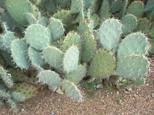 ARIZONA - GREEN, PRICKLY PEAR CACTUS PAD - LIVE PLANT !