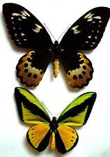ORNITHOPTERA GOLIATH ATLAS - unmounted PAIR Good A-