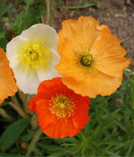 2000 ICELAND POPPY Mixed Colors Papaver Nudicaule Flower Seeds - Gift - COMB S/H