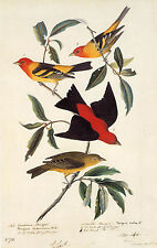 Audubon Reproductions: Watercolor Study - West-Scarlet Tanager -  Fine Art Print