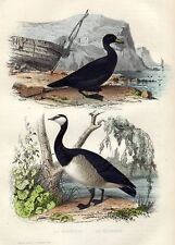 Antique bird print Common Scoter Canada Goose 1856