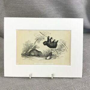 1853 Anteater Sloth  Wild Animals Zoology Antique Original Print