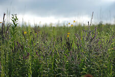 Tallgrass Prairie Seed Mix - .4lbs (25ft x 25ft)