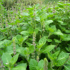 Holy Basil, Tulsi Heirloom Seeds - Non-GMO - Untreated - Open Pollinated!
