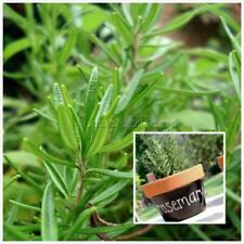 Rosemary Seeds Herb Seed 500pcs beautiful Diy Garden Plant