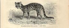 Stampa antica MARGAY o GATTO DI WIED Leopardus wiedii 1891 Old antique print
