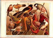 1894 EXOTIC SONG BIRDS Antique Chromolithograph Print
