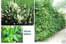 jetzt pflanzen! Immergrüne , winterharte Beeren-Hecke / 100 Kirschlorbeer Samen