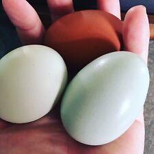 Ameraucana, Olive Egger, Easter Egger Hatching Eggs, +more
