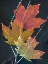 Leaf Lines Booker Morey Sugar Maple Leaves Wall Art Fall Artist Numbered Signed