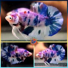 New listing Live Betta Fish Male Pink Marble Metallic Blue Dalmatian Halfmoon Plakat #E673