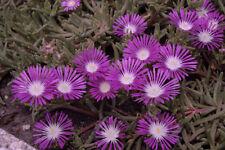 30+ DELOSPERMA STARDUST PURPLE, ICE PLANT GROUND COVER  PERENNIAL FLOWER SEEDS
