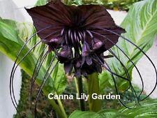 BLACK BAT FLOWER 3 BULBS TACCA CHANTRIERI TROPICAL PLANT RHIZOME + FREE PHYTO