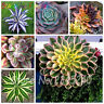Bonsai Flower Agave Seeds Plants Succulent Perennial Flowering Rare 100pcs/bag