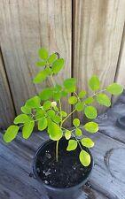 "Moringa ,Tree Of Life , Drumstick Tree 1 Live plant  3"" Pot"