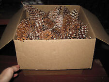 100 Large Fresh White Pine Cones, Crafts, Decorations, Fire Starter, 4-7""