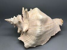 "Large 9.5"" Vintage Conch Sea Shell - Rooster Lobatus gallus AKA Strombus gallus"