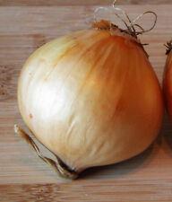 60 Samen Riesenzwiebel Ailsa Craig milde Gemüsezwiebel Riesen-Zwiebel