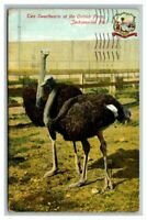 Postcard Two Sweethearts Ostrich Farm Jacksonville, FL FLA Florida Posted 1910