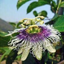 25 semillas fruta-Passiflora edulis-comestible-Parchita-PassionFruit