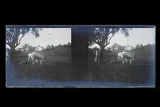 Campagne France vaches Photo amateur Plaque stéréo NÉGATIF