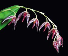 Pleurothallis restrepioides species orchid