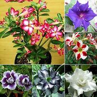 CH 5 Lots Desert Perennial Rose Flower Garden Bonsai Plant Adenium Obesum Seeds