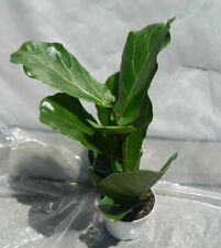 Ficus Lyrata Plant in 4.5 Inch Pot - Also Called Fiddle Leaf Fig or Pandurata (F