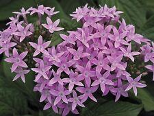 Pentas Seeds Starla Lavender Shades 25 Pelleted Seeds