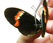 Unmounted Butterfly/Nymphalidae - Heliconius melpomene form 1