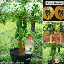 Bonsai Pusa Nanha Dwarf Papaya 20 Fresh Fruit Seeds,Free shipping, Lowest Price