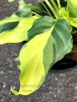 """New Philodendron """"Xanadu Compact Yellow Variegated"""" Succulent Plant +Free Phyto"""